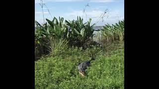 Esteros del Ibera- yacaré negro
