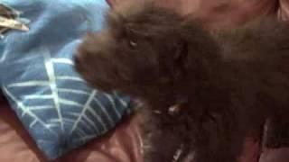 5 Month Old Poodle Barking At Dog Food Commercial