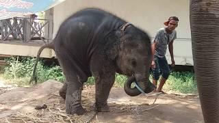"""หนูก็หิวน้ำนะแม่แป้ง """" พลายดาวมงคล"""" ! Baby elephant !! วิถีคนเลี้ยงช้าง ep. 133"""