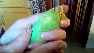 Макросъёмка - как проверить зоб волнистого попугайчика на примере волнистика среднего размера