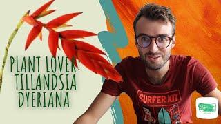 Plant lover : Tillandsia Dyeriana 🧡