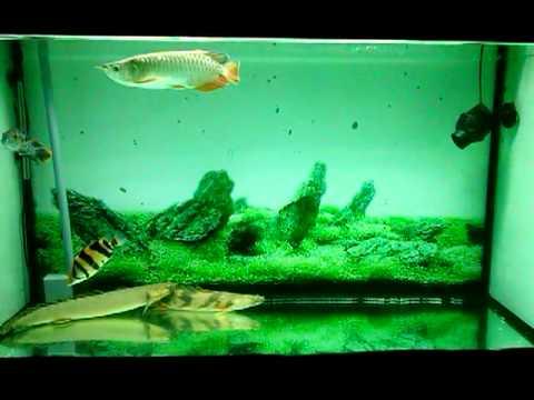 Nấm râu cá rồng