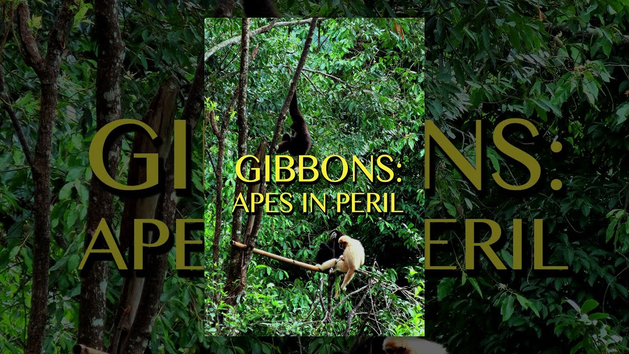 Gibbons: The Forgotten Apes in Peril