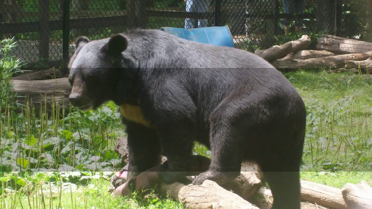 Interesting Asiatic black bear Facts
