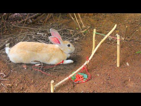 PrimitiveTechnology: Amazing Quick Rabbit Trap – How To Catch Rabbit HUNT TV