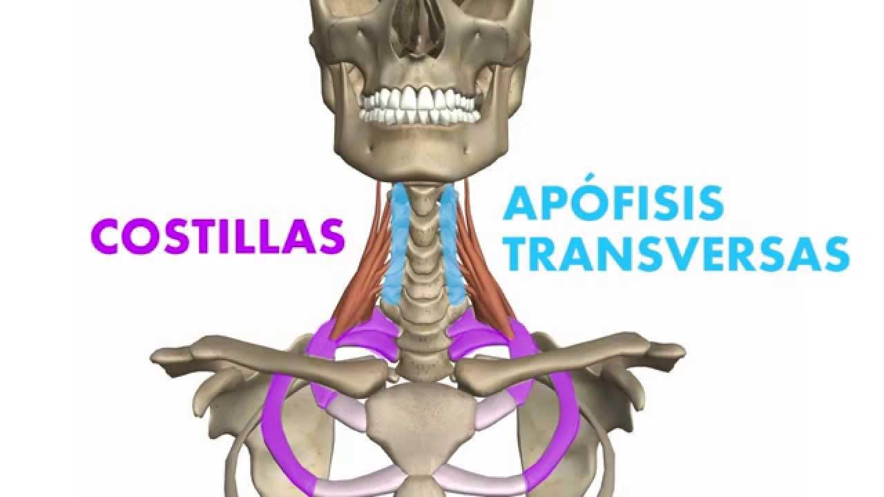 3D] Músculos profundos del cuello - Escalenos - YouTube