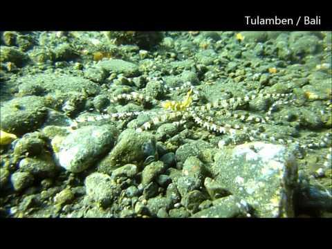 Wonderpus octopus Wunderpus photogenicus