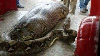 Un homme ivre se fait avaler par un serpent (+18)
