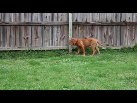 Dogue De Bordeaux puppy running outside