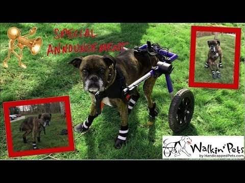 Walkin' Pets Dog Boots Pet Booties Review   How To Measure