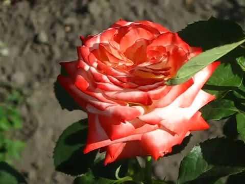 Красные розы 120см с доставкой от бутика цветов «newflora». Цены. Безналичная оплата.