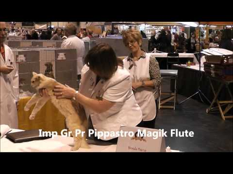 GCCF Supreme Cat Show 2011 Best Of Variety Oriental Neuter