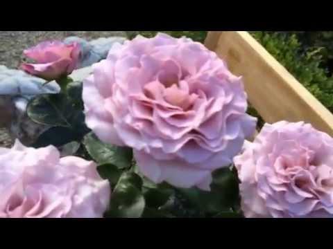 Rose 'Blue Girl' | Hybrid Tea (Fil Roses) - Sauvageot