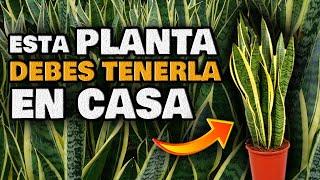 Esta PLANTA es ORO PURO en CASA | Increíbles USOS Curativos | Sansevieria o Lengua de Suegra