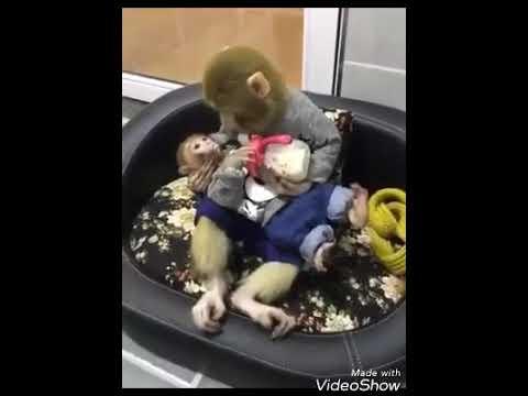 Chanda hai tu mera suraj by monkey