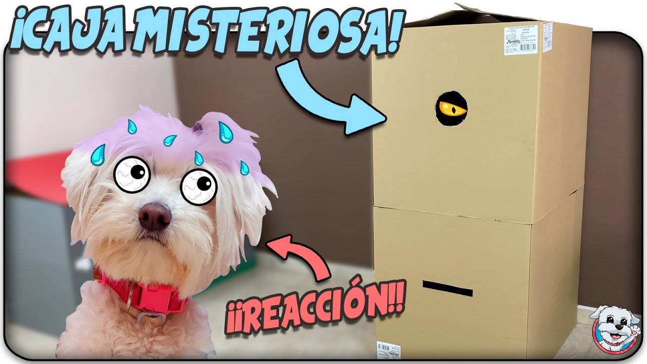 Mi PERRO Reacciona a la CAJA MISTERIOSA CHALLENGE!📦?Anima Dogs