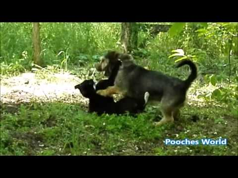 Dog VS Cat Wrestling. Dog wins!!!