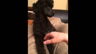 Nelly The Poodle Demands More Pets