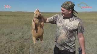 Охота на сурка байбака видео