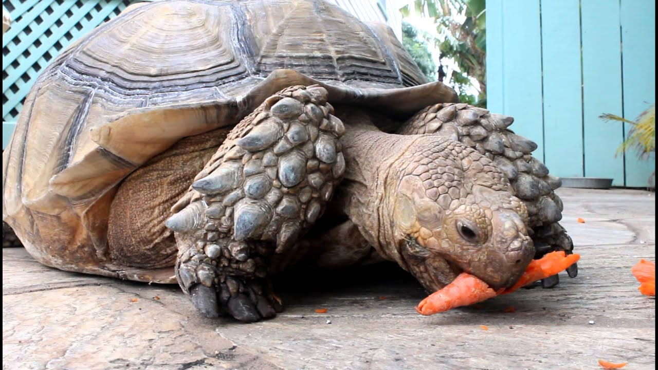 Sulcata tortoise pet eating carrot--HD - YouTube