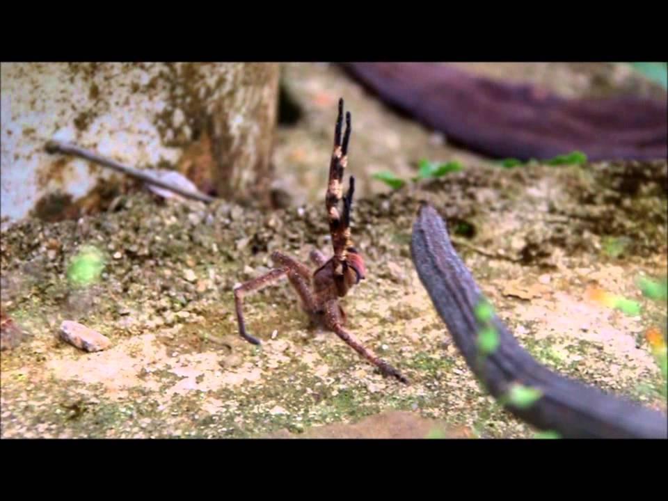 Attack Defense Of Brazilian Wandering Spider