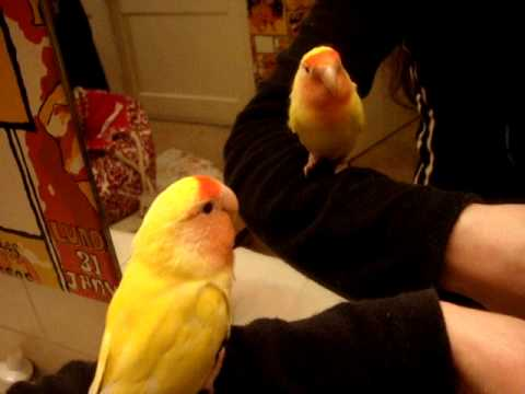 Chicken-Little baby lovebird talking and says his name to the reflection in the mirror 1-29-10