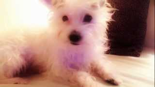 Cute White Poodle Terrier Mix Puppy