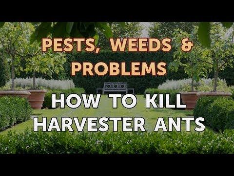 How to Kill Harvester Ants