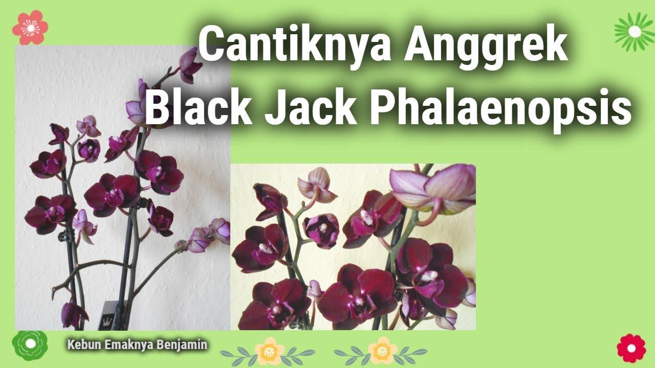 Anggrek Bulan Black Jack godean.web.id