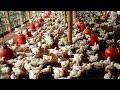 1 kg in 20 days ! poultry growth | fast growth in farm ! murgi farm ka 20 days me wajan !