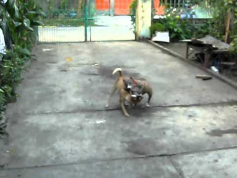 Pitbull VS. Grayhound