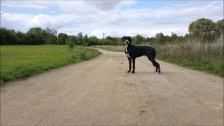 Boxer X Labrador Mix Puppy Ambient Walkie [5 Months]