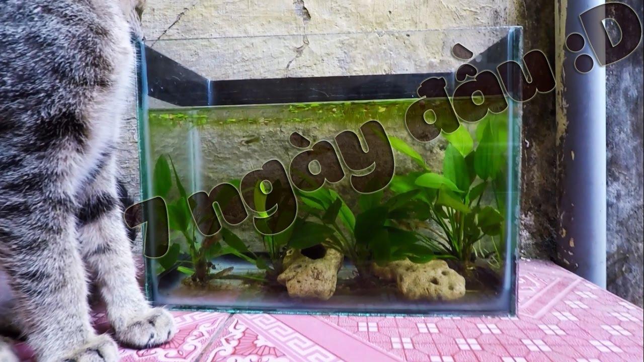 [Thử nghiệm] Bể cá cảnh mini trồng cây thủy sinh lưỡi mác không đất, không lọc #1 – 7 ngày đầu