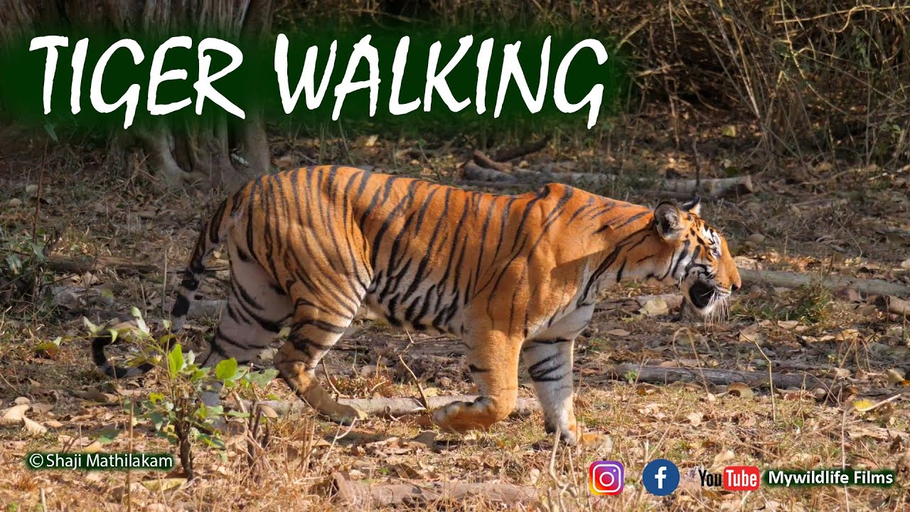 Tiger Walking at Nagarhole Tiger Reserve I Panasonic Lumix Gh5 Wildlife Film I Shaji Mathilakam