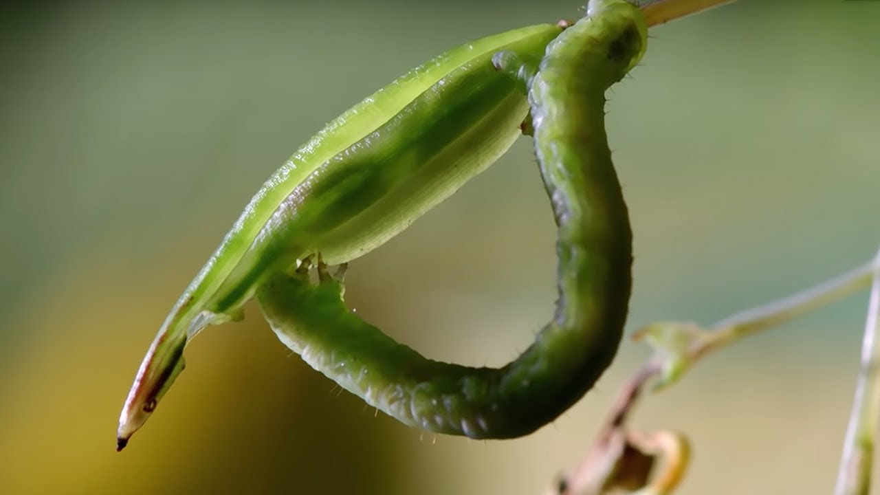 Caterpillars Feeding on Exploding Touch-Me-Not Seed Pods | BBC Earth