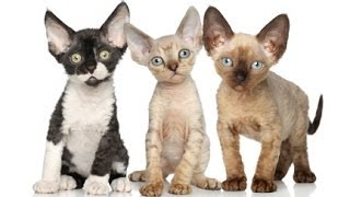 Animal Planet  : Cats 101 ~ Devon Rex