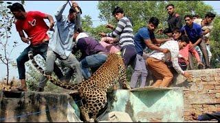চিতার সঙ্গে মানুষের লড়াই [ভিডিও]Leopard killed by villagers