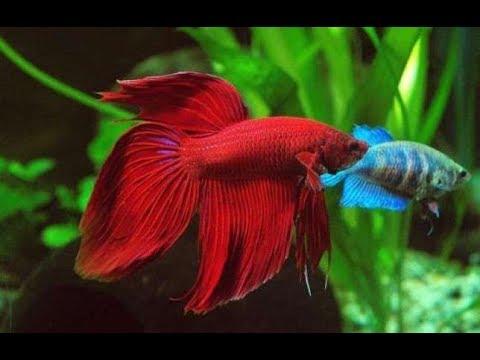 Вопрос: С чем связана продолжительность жизни рыбок в аквариуме?