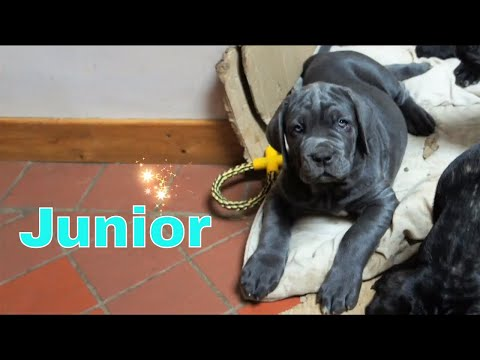 Junior The 9 weeks Old Neapolitan Mastiff Learns Give Paw