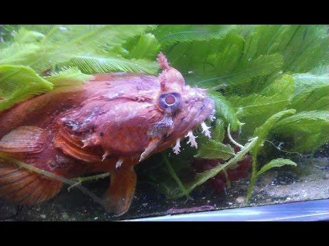 Aquarium Life. Part 8 : Frog Fish, Toad Fish And Corals Care, Feeding