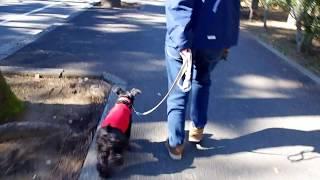 レオ君もお散歩が上手にできます。時々よそ見することがありますが、名...