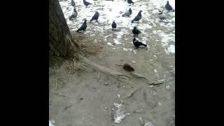 Прикол, вороны гоняют крысу)
