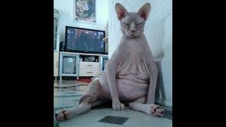 Приколы с котами - вкусная валерьянка