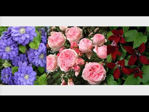 Какой клематис посадить к розе Джардина? Сочетание цветов у роз и клематисов!