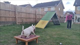 Magnus  Champion Trick Dog Submission