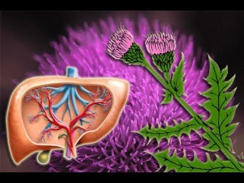 Mariendistel optimales Detox für Leber Reinigung und Stärkung