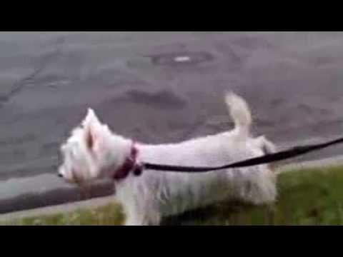 Moonwalking Scottish Terrier and West Highland White Terrier