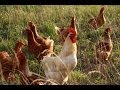 Pastured Poultry and Conservation Planning
