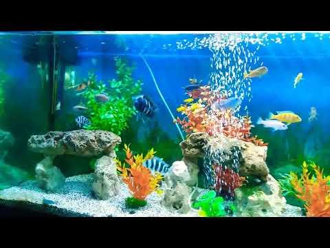 Mon Aquarium De 500 L Poisson Cichlidés
