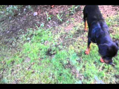 Dognapped Please Help Bring My Rottweiler Home - Canada Wide Alert
